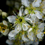 John Hoyt (Lewes, DE) Prunus maritima, The beach plum