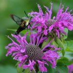 Michele Walfred (Sussex County Master Gardener's Demonstration Garden, Georgetown, DE) Wild Bergamot (monarda fistulosa) offers its pollen to a visiting Clearwing Butterfly Moth (Hemaris thysbe).